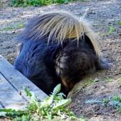 Bacchus digging P1470184