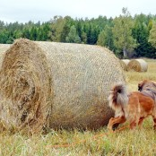 Saffran looking at hay rolls P1540035