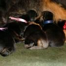 Three days old Khawa litter all five P1570547