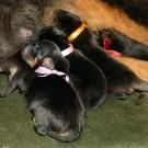 Three days old Khawa litter P1570543