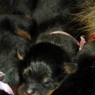 Bod Khyi Khawa litter pink P1570564