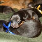 Bod Khyi Khawa litter blue and pink P1570623