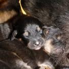 Bod Khyi Khawa litter yellow P1570616