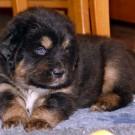 Bod Khyi Khawa puppy P1580915