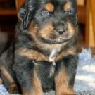 Bod Khyi Khawa puppy P1580913