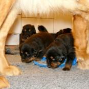 Disa and puppies P1580803
