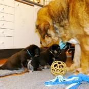 Disa and puppies P1580796