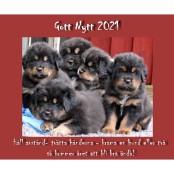 New Year Bod Khyi Khawa litter 5 weeks best P1590746