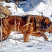 Saffran enjoying snow P1630619