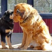 Saffran and puppies P1660217