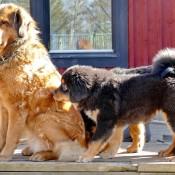 Saffran and puppies P1660211