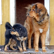 Saffran and puppies P1650701