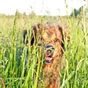 Saffran in tall grass blury but best P1720282