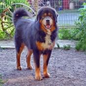 Humla in dogsyard P1720192