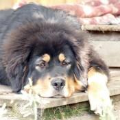 Dogsyard Humla P1710991