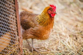 Nu har i även kvalitetsfoder för höns och fjäderfän >