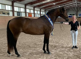 ELEKTRA DE NORDICO - Champion gångarter, unghästar 2- 3 år