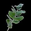 Eukalyptushydrolat 10ml