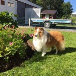 Lapplandia's Truly Loyal Ron har hittat en humla