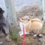 Lapplandia's Ninetales Disa och Katten leker