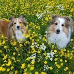 Eevee och mamma Tessa på blomsterängen