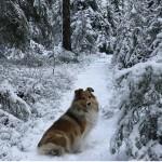 """Lapplandia's Ninetales """"Disa"""" på en härlig vinterpromenad"""
