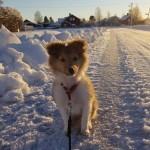 """Härligt med snö tycker Lapplandia's Lucky Clover """"Ulf"""" 12 veckor."""