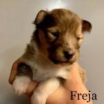 "Lapplandia's Snowangel ""Stella"" Freja 14 dagar"