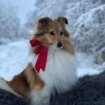 Julbild Lapplandia's Eevee Doris 2019