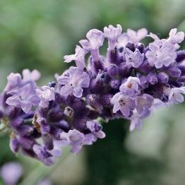 Lavendel olja (eko) - Lavendel vera 10 ml