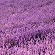 Lavendel olja (eko)