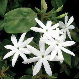 Jasmin olja (eko) - 1 ml