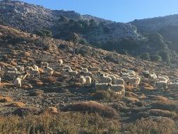 Det særlige skær i fårenes pels skyldes, at det er tidligt på dagen, og at  solen endnu står lavt (25. september).