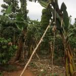 Julia farm med bananplantering