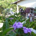 Kashura blommor