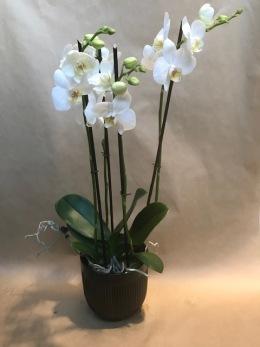 Orkidee i passande kruka -