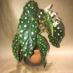 Forell begonia