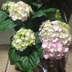 hortensia krukväxt