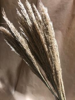 Pampasgräs (mindre)