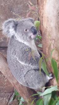 Koala Austalia Fot. Linda Aro