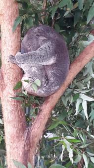 Sovande Koala, Fot.Linda Aro
