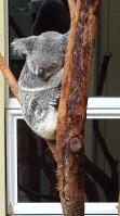 Koalaen sover