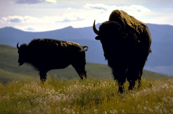 Montana, bufflar.