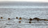 Guide Natura  Safari to the singing seals (3)