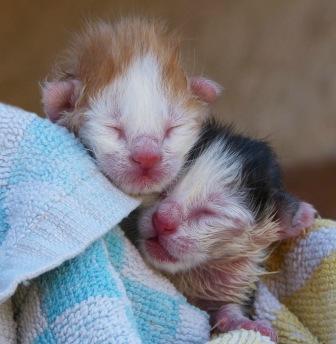 Mjölkersättning kattunge - Mjölkersättning kattunge