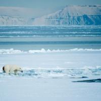 isbjörn o glaciär