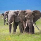 1.Tanzania-Ngorongoro-crater-three-headed-elephant
