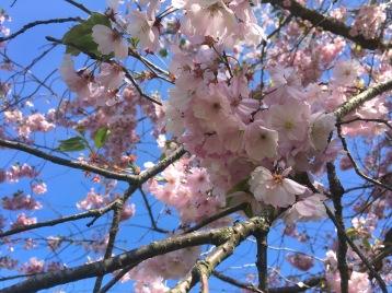 Ett japanskt körsbär i vårblom...