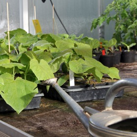 Plantor ska vattnas