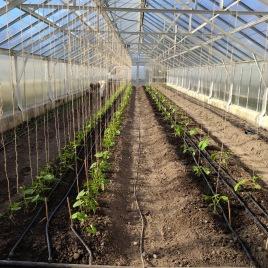Utplanterat i växthuset